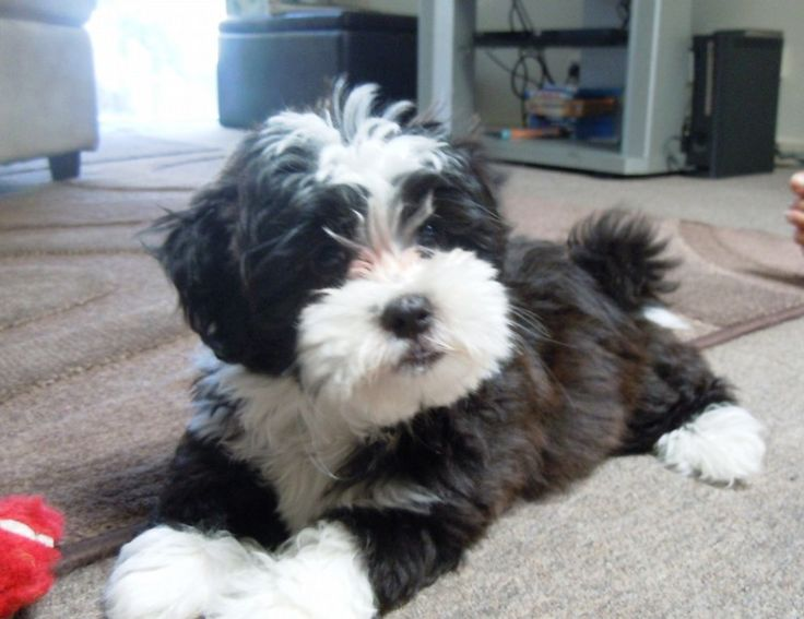maltese x poodle full grown - Google Search