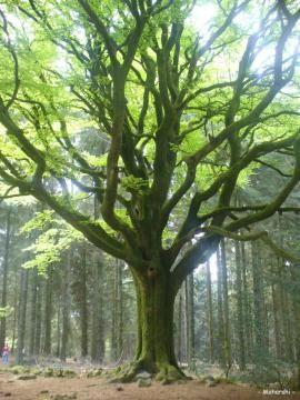 Le hêtre de Ponthus, forêt de Brocéliande (Ille-et-Vilaine) | Krapo arboricole