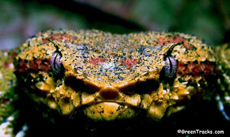 Blue eyelash viper - photo#4