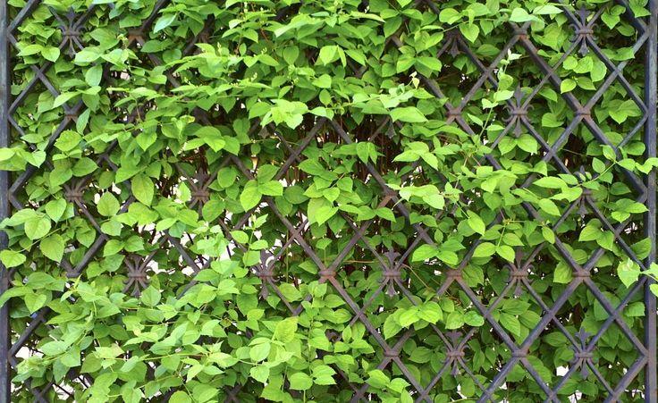 Sichtschutz mit Kletterpflanzen -  Sichtschutz muss nicht zwingend an der Gartengrenze stattfinden – so mancher möchte lediglich seinen Lieblingsplatz vom übrigen Garten abtrennen und vor neugiereigen Blicken schützen. Hier sind leichte, transparente Lösungen erwünscht, die dennoch genügend Geborgenheit schaffen.