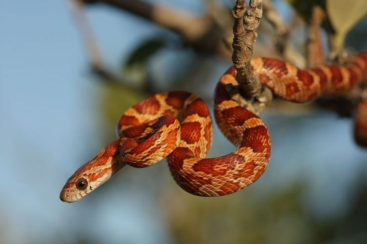 Find out if a pet corn snake is right for you corn snake