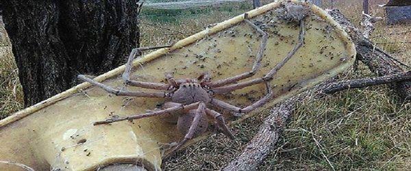 العثور على أكبر عنكبوت على وجه الأرض (فيديو +صور)