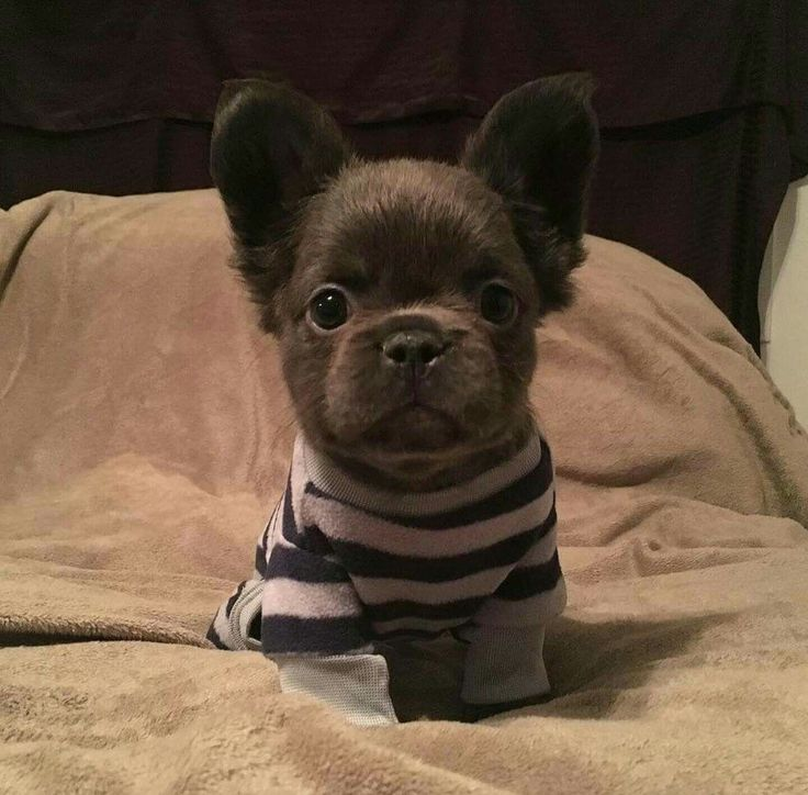 Long haired frenchie puppy