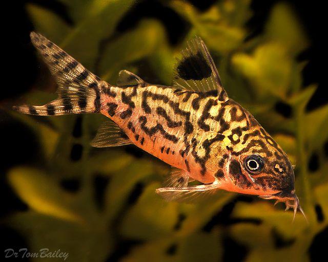 Reticulatus corydoras catfish cory catfish diet for Bottom feeder aquarium fish