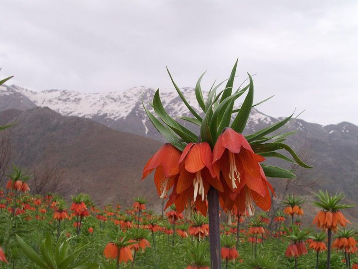 Ters lale; nadide çiçekleri arasında yer alan bir süs bitkisidir. Her yerde yetişmez. Eriyen karın altından çıkar ve çok kısa ömürlü olur. Soğan, yumru ve rizom gibi toprak altı organlarına sahip, geofit bitkiler ailesindendir. Yani Geofit ailesinden çok yıllık bir bitkidir. Geofit; yılın büyük bir kısmını veya elverişsiz günlerini toprak altında geçiren genellikle ilkbaharda bir kısmı da sonbaharda güzel ve gösterişli çiçek açan soğanlı, yumrulu ve rizomlu bitkilerin genel adıdır. Bu…