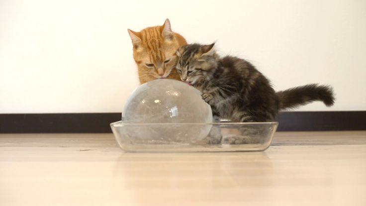 Immer auf Entdeckungstour – kleine #Katzen finden einen großen Ball aus Eis. Verblüffend, wie sie darauf reagieren. #kleineKatzen  http://sumowave.com/immer-auf-entdeckungstour-kleine-katzen-finden-einen-grossen-ball-aus-eis-verblueffend-wie-sie-darauf-reagieren/