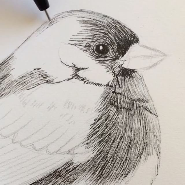 """Sketching a Dark-Eyed Junco! (4x fast motion!) That weird """"space ship"""" (or lightsaber?!) sound in the background is the refrigerator humming. May the forth be with you! 😆🖊💥🖖🏾 #maytheforth #darkeyedjunco #study #workinginthekitchen #junco #emberizidae #birddrawing #sketch #fabercastell #inkpen #inkart #fineart #workinprogress #artistwork #birdart #drawingvideo #monochromatic #staycreative #draweveryday"""