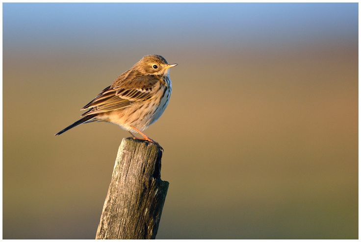 Pipit farlouse / Meadow Pipit