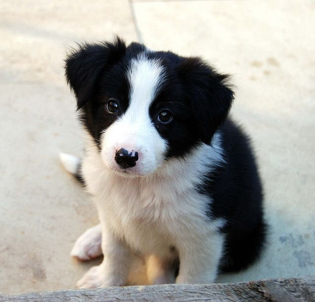 Sweet baby border collie. These are the smartest dogs!