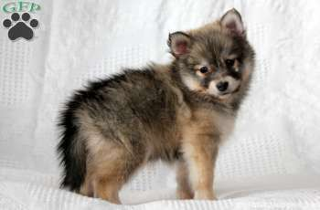 Pomsky Puppies For Sale In PA - Tap the pin for the most adorable pawtastic fur baby apparel! You'll love the dog clothes and cat clothes! <3
