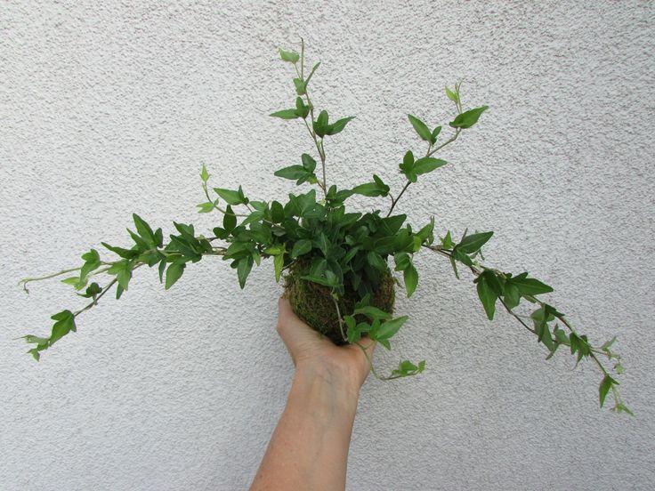 kokedama+Hedera+kokedama+pochází+jako+bonsaje+z+Japonska,+znamená+to+v+překladu+mechová+koule.+Jde+o+speciální+pěstování+pokojových+květin+v+závěsu+nebo+na+mističkách.+Podrobné+informace+o+kokedamě+najdete+v+mém+profilu.+vel.+balu+cca+8-12+cm,+s+možností+závěšení,+součástí+je+i+háček+a+provázek+cena+je+bez+misky+fotografie+je+ilustrační,+každá+kokedama+je...