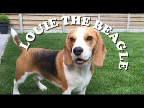 """Fetch"" with Louie the Beagle - Three Million Dogs"