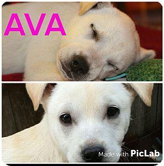Mesa, AZ - Labrador Retriever Mix. Meet AVA 10 WK LAB FEMALE, a puppy for adoption. http://www.adoptapet.com/pet/17362209-mesa-arizona-labrador-retriever-mix