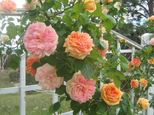 1092 best rosen kletter rosen climbing roses images on. Black Bedroom Furniture Sets. Home Design Ideas