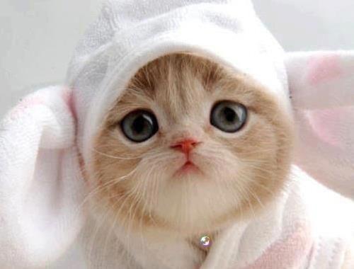 orange persian kitten with sheep hat..
