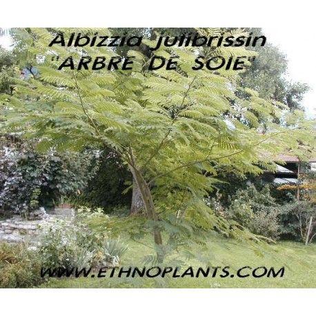 Albizia julibrissin ARBRE À SOIE