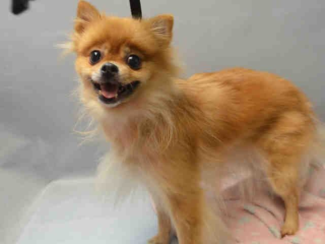 SAFE    MEOWNEE_a1091793 FEMALE, BROWN, POMERANIAN MIX, 8 yrs OWNER SUR – EVALUATE, NO HOLD Reason PERS PROB Intake condition EXAM REQ Intake Date 09/30/2016, From NY 11236, DueOut Date 09/30/2016,
