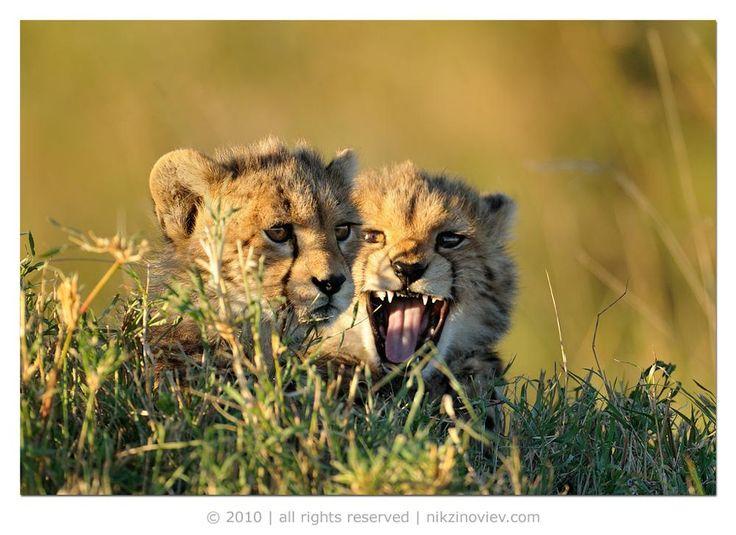 *** #гепард #детеныш #дикие животные #африка #саванна #серенгети #танзания #николай зиновьев#гепард #детеныш #дикие животные #африка #саванна #серенгети #танзания #николай зиновьев Photographer: Николай Зиновьев