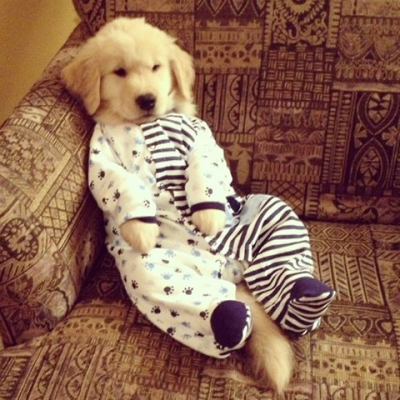 cute golden retriever puppy dressed in pyjamas...I hate dogs being dressed up...but this one is quite cute...