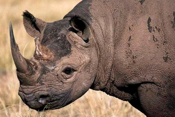 Rinoceronte negro de África se declara oficialmente extinto, sumándose a otros grandes mamíferos como el rinoceronte de Java