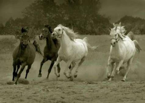 Manada de caballos pura sangre galopando en la arena - BuscarFondos