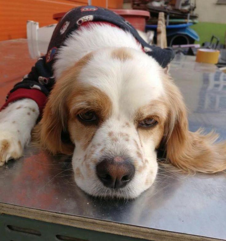 Cocker Spaniel dog for Adoption in Sherman Oaks, CA. ADN-718862 on PuppyFinder.com Gender: Male. Age: Adult