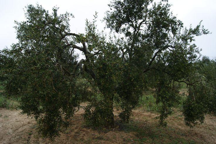 Nuestros Olivos Ecológicos. Our organic olive trees. #Tartessus #AOVE #EVOO #organic
