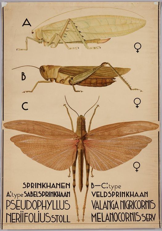 Pseudophyllus neriifolius^ (bush cricket) Valanga nigricornis (yellow or shorthorned grasshopper^) BibliOdyssey: Insect Wall Charts