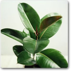 10 indoor plants you cant kill so far my rubber tree plant is doing great maybe i need a zz plant too - Tall Flowering House Plants
