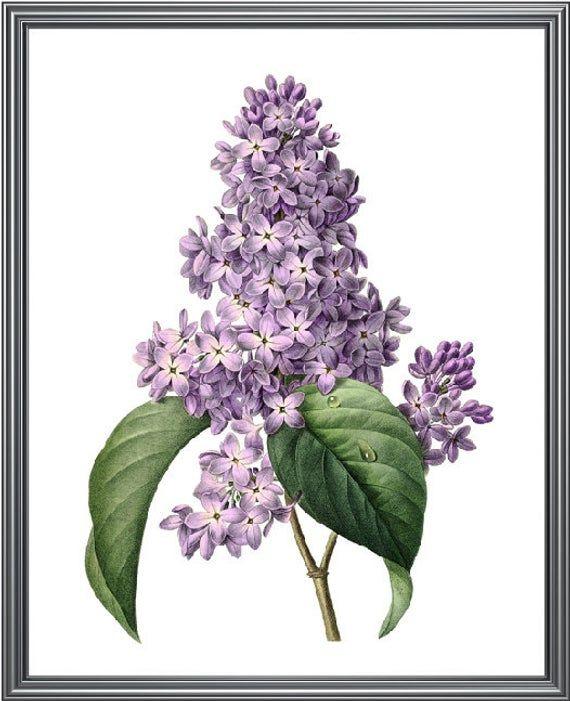Printable Purple Lilacs Antique Flower Illustration Etsy In 2020 Botanical Wall Art Botanical Prints Vintage Botanical Prints