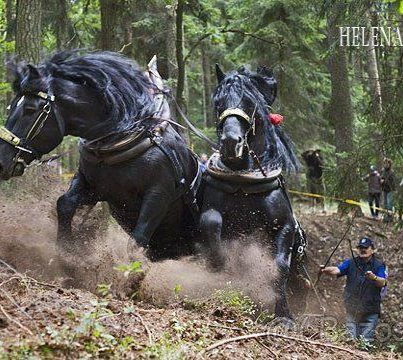 Awesome Horse Power ;)   Horse Logging is less Damaging to the fragile wooded acreage, & helps preserve the rare Heavy Horse Breeds. They are Bred to Work & Love it ;)