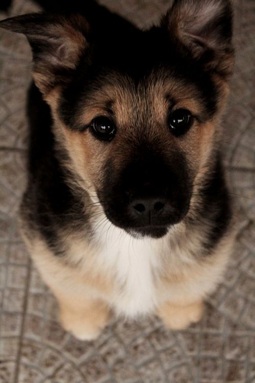 :O I want a German Shepard puppy so bad :(((( well just any puppy will do at this point!