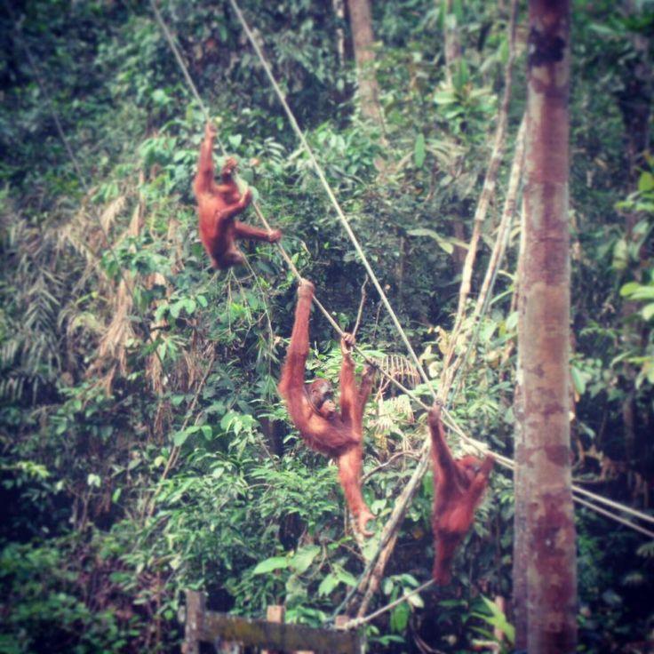 #Monkeys #Borneo