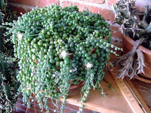 planta rosario | Cuidar de tus plantas es facilisimo.com