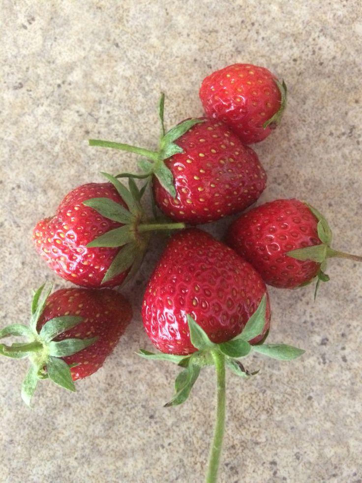 Premières fraises du jardin sucrées délicieuses!