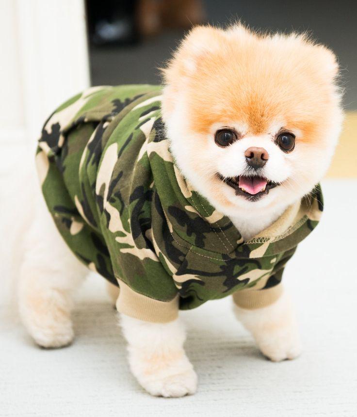perrito pomerian vestido de miliar