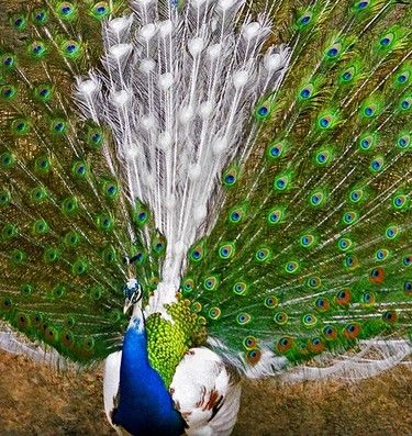 Wow... Both white & colorful feathers on a peacock.