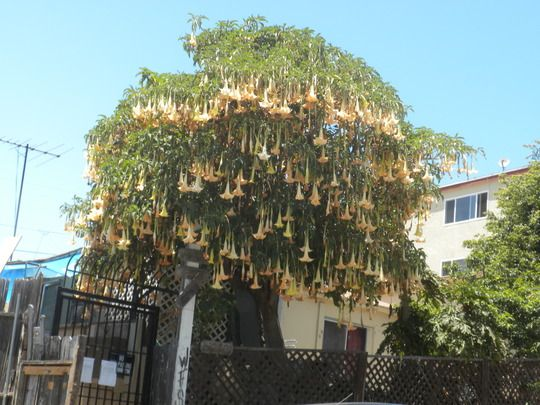 brugmansia trees - Szukaj w Google