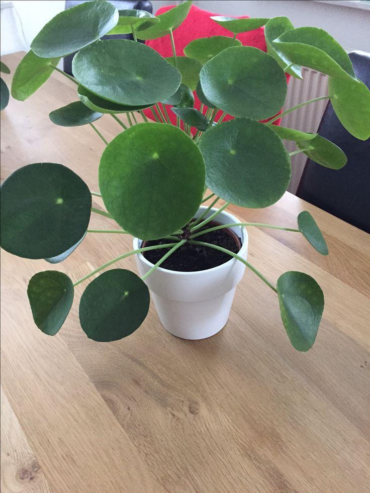 wat groeit hij hard pannenkoekenplant pilea peperomioides pinterest cacti. Black Bedroom Furniture Sets. Home Design Ideas