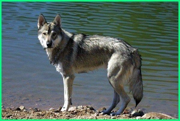 43+ Anjing wolf terupdate