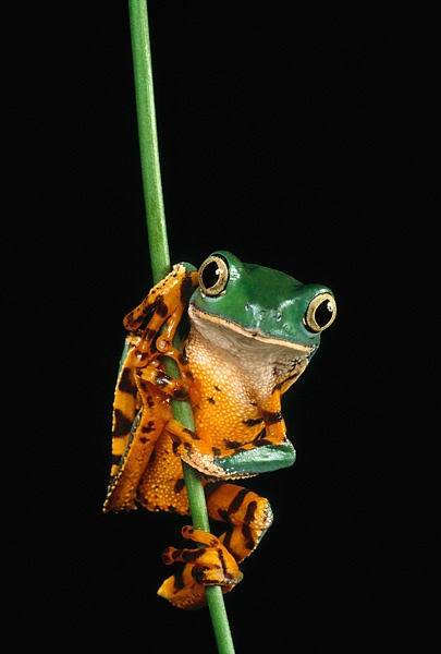 17 best images about fish frogs on pinterest for Tiger striped fish