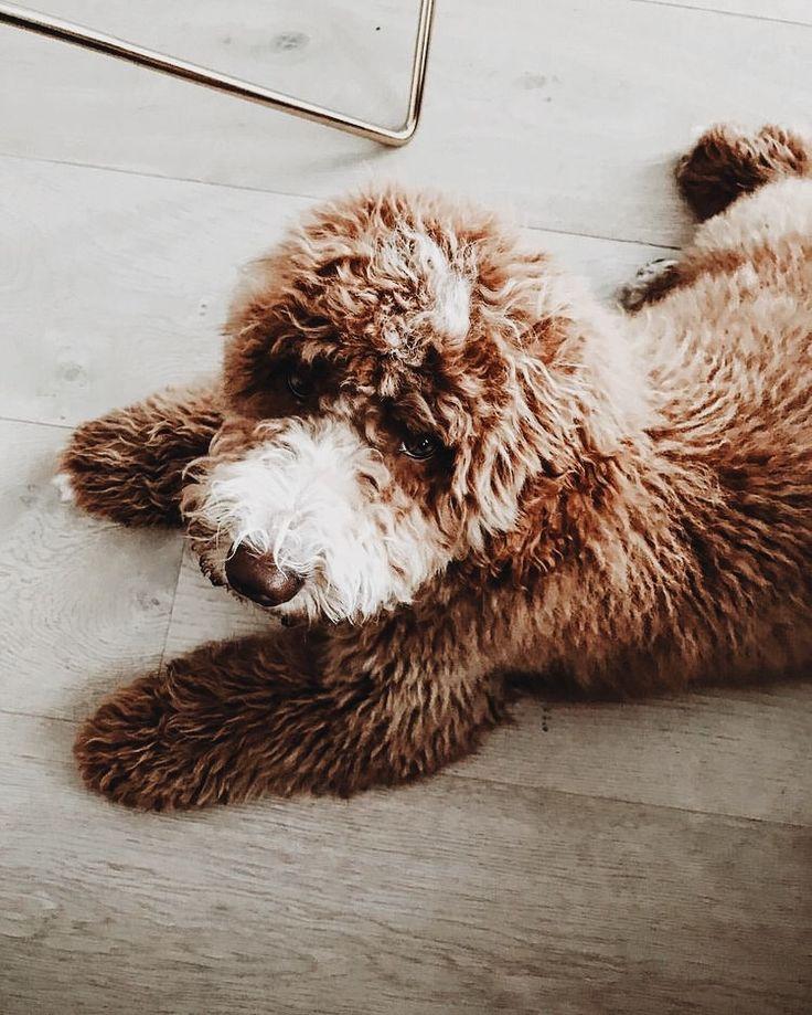 Best 25 Mop Dog Ideas On Pinterest Komondor Giant Dog