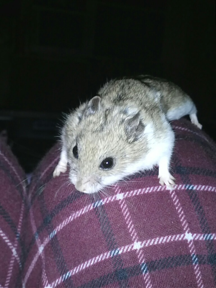 Chinese Dwarf Hamster