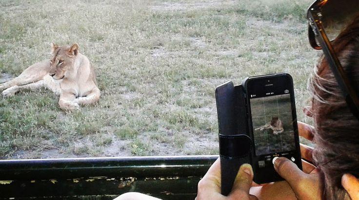 Lion sightings every day at OTC #Etosha #Namibia #safari