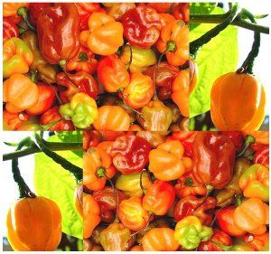 72 best images about peppers on pinterest hot sauce - Best romanian pepper cultivars ...
