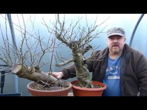 ▶ Bonsai Techniques - Air Layering Part II - YouTube