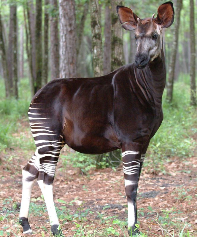Okapi, the endangered forest giraffe of the Congo