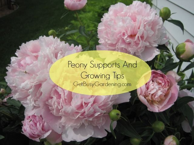 If peony flowers are left unsupported, they will collapse. Learn how to get keep peony blooms from flopping, and other peony growing tips. | GetBusyGardening.com