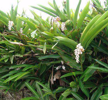 Image result for alpinia zerumbet variegata