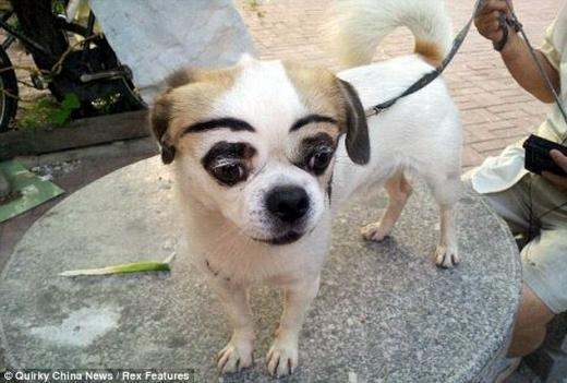 Somebody applied eyebrow tattoos and even makeup...a funny dog surprise!  눈썹 문신에 화장까지…우스꽝스러운 개 논란
